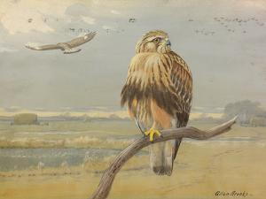 Painting of an Adult and an Immature American Rough-Legged Hawk by Allan Brooks