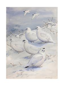 Painting of Different Ptarmigan Species in Winter Plumage by Allan Brooks