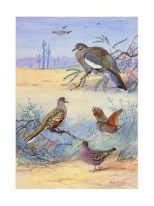 Painting of Several Dove Species by Allan Brooks