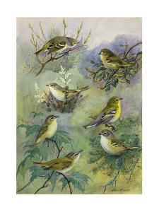 Painting of Several Species of Vireos Sitting on Tree Branches by Allan Brooks