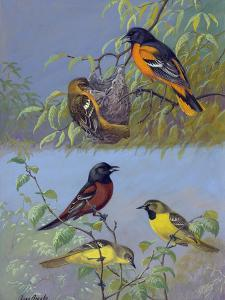 Painting of Two Different Oriole Species and their Families by Allan Brooks