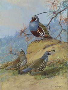 Painting of Two Different Quail Species by Allan Brooks