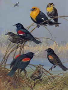 Painting of Various Blackbirds from across the United States by Allan Brooks