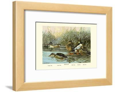 Shoveller Family of Ducks