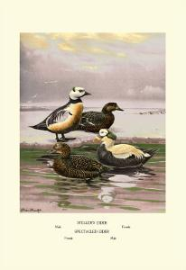 Stellars and Spectacled Eiders by Allan Brooks