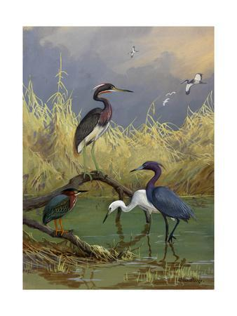 Various Herons Feed in Shallow Water