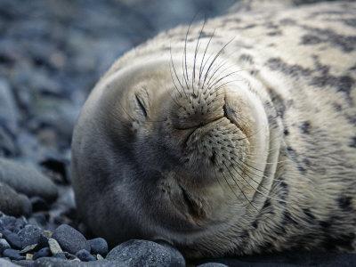 South Shetlands Islands, Half Moon Island, Weddell Seal, Antarctica
