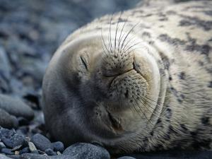 South Shetlands Islands, Half Moon Island, Weddell Seal, Antarctica by Allan White