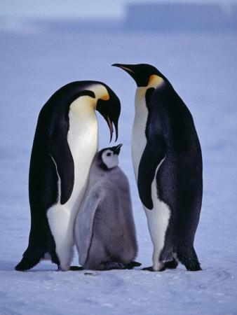 Weddell Sea, Riiser-Larsen Ice Shelf, Emperor Penguins and Chick, Antarctica