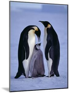 Weddell Sea, Riiser-Larsen Ice Shelf, Emperor Penguins and Chick, Antarctica by Allan White