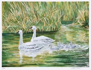Swans by Allen Friedman