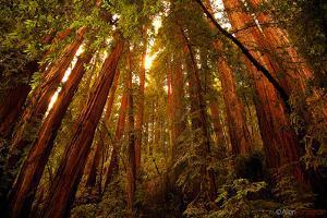 Muir Woods by Allen Parseghian