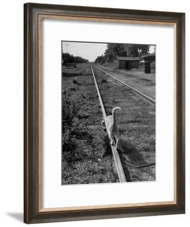 Alley Cat Serenely Walking the Tracks-Walter Sanders-Framed Photographic Print
