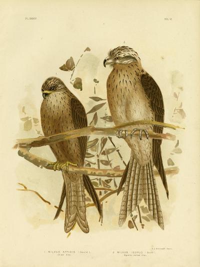 Allied Kite or Black Kite, 1891-Gracius Broinowski-Giclee Print