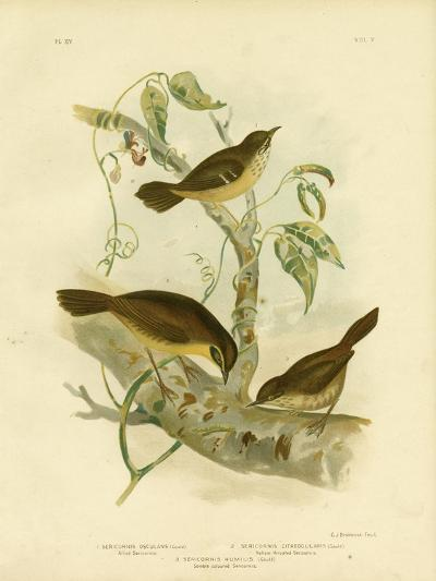 Allied Scrubwren or White-Browed Scrubwren, 1891-Gracius Broinowski-Giclee Print