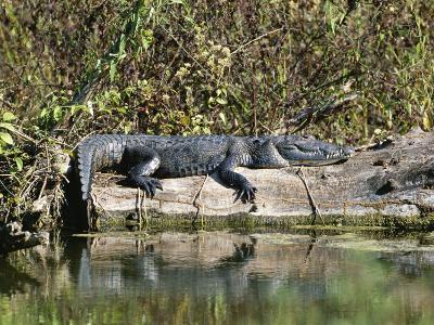 Alligator Basking on Tree Trunk, Belize-Barry Tessman-Photographic Print