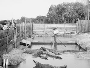 Alligator Joe and His Pets, Palm Beach, Fla.