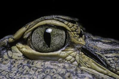 Alligator Mississippiensis (American Alligator) - Eye-Paul Starosta-Photographic Print