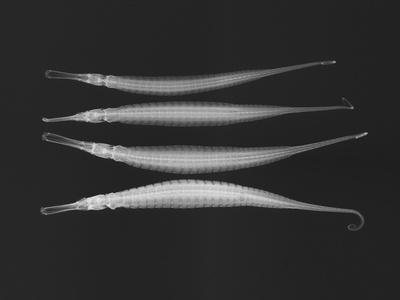 Alligator Pipefish-Sandra J^ Raredon-Photographic Print