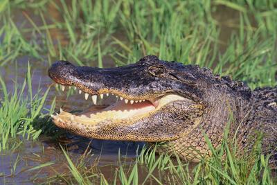 https://imgc.artprintimages.com/img/print/alligator_u-l-pzrk900.jpg?p=0
