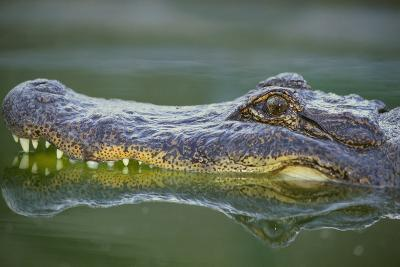 Alligator-DLILLC-Photographic Print