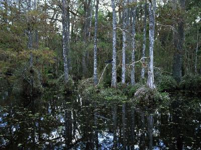 Alligators in Swamp Waters at Babcock Wilderness Ranch Near Fort Myers, Florida, USA-Fraser Hall-Photographic Print