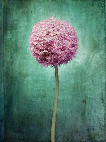 Allium flower blossom still life allium giganteum pink allium flower blossom still life allium giganteum pink turquoiseby axel killian mightylinksfo
