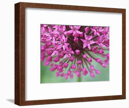 "Allium Hollandicum ""Purple Sensation""-Lynn Keddie-Framed Photographic Print"