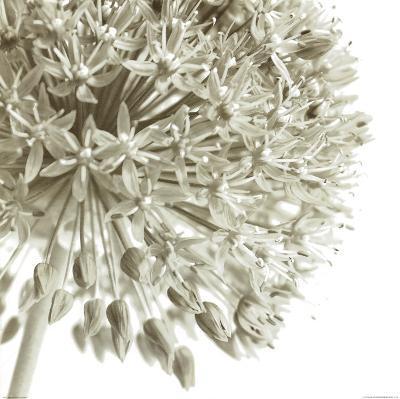 Allium I-C^ Sands-Art Print