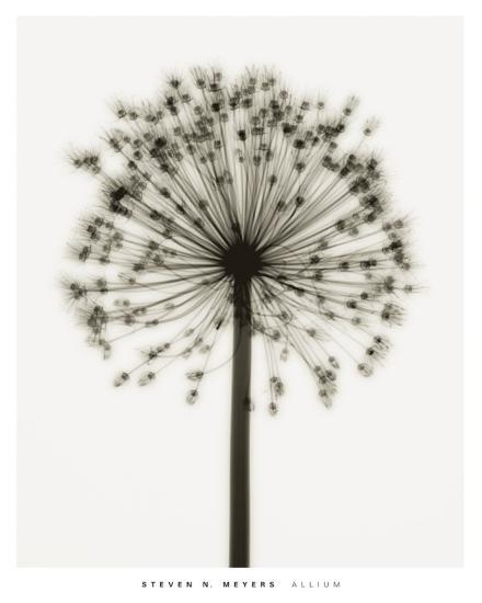 Allium-Steven N^ Meyers-Art Print