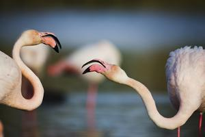 Two Greater Flamingos (Phoenicopterus Roseus) Fighting, Pont Du Gau, Camargue, France, April 2009 by Allofs