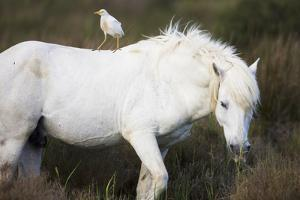 White Camargue Stallion with a Cattle Egret (Bulbulcus Ibis) on His Back, Camargue, France by Allofs