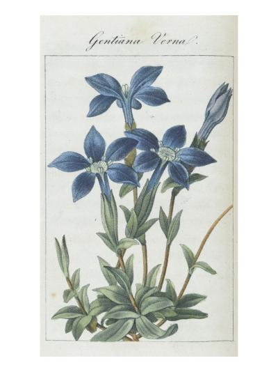 Almanach de Flore : Gentiane Verna-Pancrace Bessa-Giclee Print