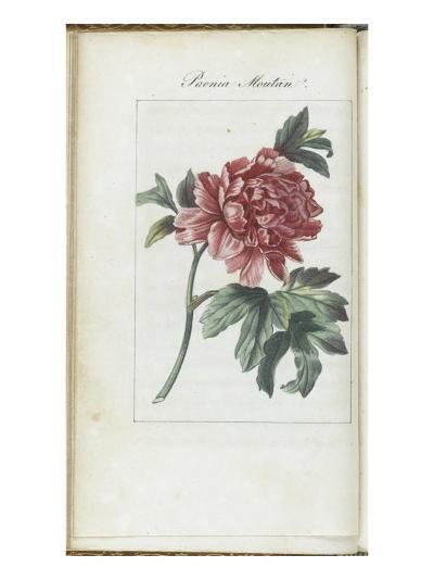Almanach de Flore : Paonia Moutan-Pancrace Bessa-Giclee Print