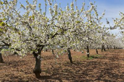 Almond Orchard in Blossom, Puglia, Italy, Europe-Martin-Photographic Print