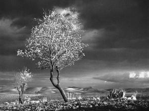 Almond Tree in Bloom in Sicily