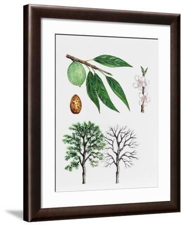 Almond Tree (Prunus Dulcis), Rosaceae, Tree with and Without Foliage, Leaves, Flowers and Fruits--Framed Giclee Print