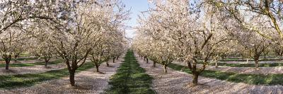 Almond Trees in an Orchard, Central Valley, California, USA--Photographic Print