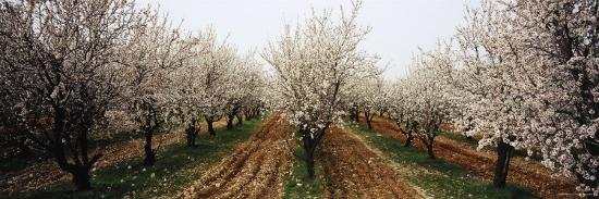 Almond Trees in an Orchard, Syria--Photographic Print