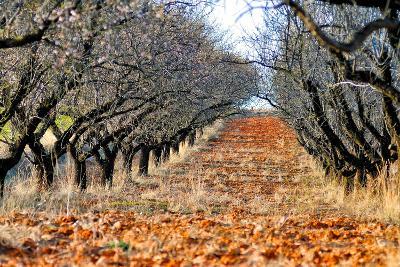 Almond Trees in Bloom-Kike Calvo-Photographic Print
