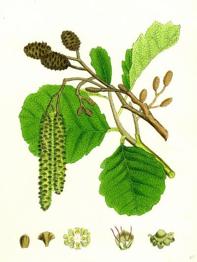 Alnus Glutinosa Common Alder--Giclee Print