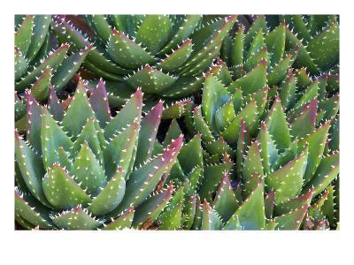 Aloe 1-PhotoDF-Premium Photographic Print
