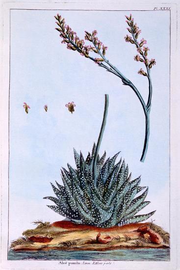 Aloe, Illustration from 'Collection Precieuse Et Enluminee Des Floura', by Pierre Joseph Buchoz,…-Pierre-Joseph Buchoz-Giclee Print