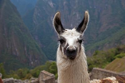 Alpaca at Machu Picchu-Gail Johnson-Photographic Print