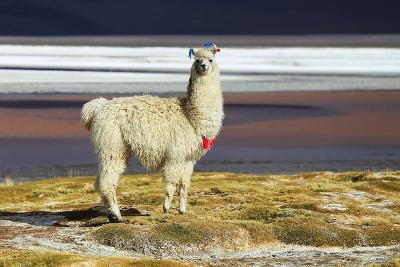 Alpaca in Salar De Uyuni, Bolivia Desert-padchas-Photographic Print
