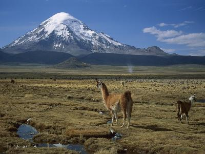 Alpaca (Lama Pacos) Mother and Young in Grassland Near Volcano, Lauca Nat'l Park, Chile-Thomas Marent/Minden Pictures-Photographic Print