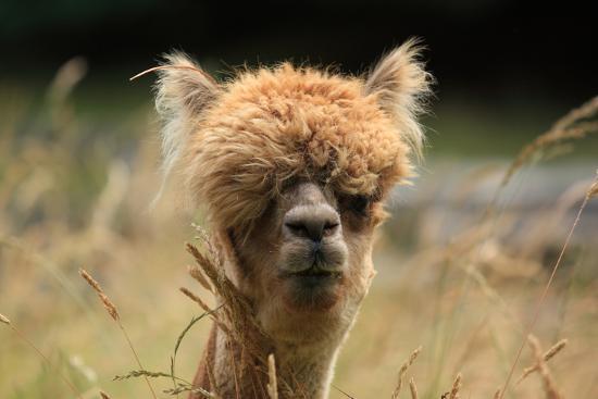 alpaca-lama_u-l-q104e330.jpg?h=550&w=550