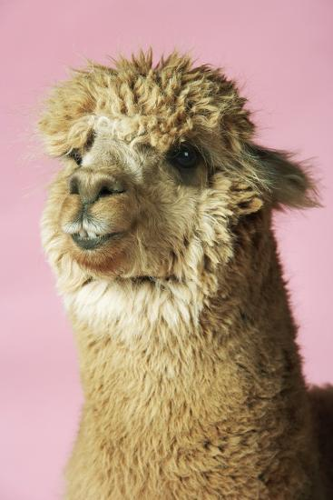 Alpaca on Pink Background, Close-Up of Head--Photo