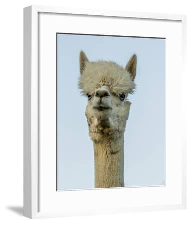 Alpaca Portrait IV-Tyler Stockton-Framed Art Print