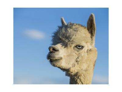 https://imgc.artprintimages.com/img/print/alpaca-portrait-vii_u-l-q19bura0.jpg?p=0